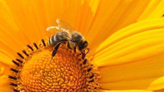 miel en dieta vegana
